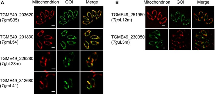 Mitochondrial localisation of putative mitochondrial ribosomal proteins by epitope tagging. A. Localisation through fluorescence microscopy analysis of 4 gene‐products predicted to encode for mitoribosomal proteins identified in our search. B. Localisation of 2 additional gene‐products predicted to be mitochondrial ribosomal proteins not found in our search. For both panels, mitochondria are marked with anti‐TgMys or anti‐TOM40; the mentioned GOI (genes of interest) are marked with anti‐HA, anti‐FLAG or anti‐Strep. Scale bar 1 μm. Images in A also appear in Fig. S2 . [Colour figure can be viewed at https://www.wileyonlinelibrary.com ]