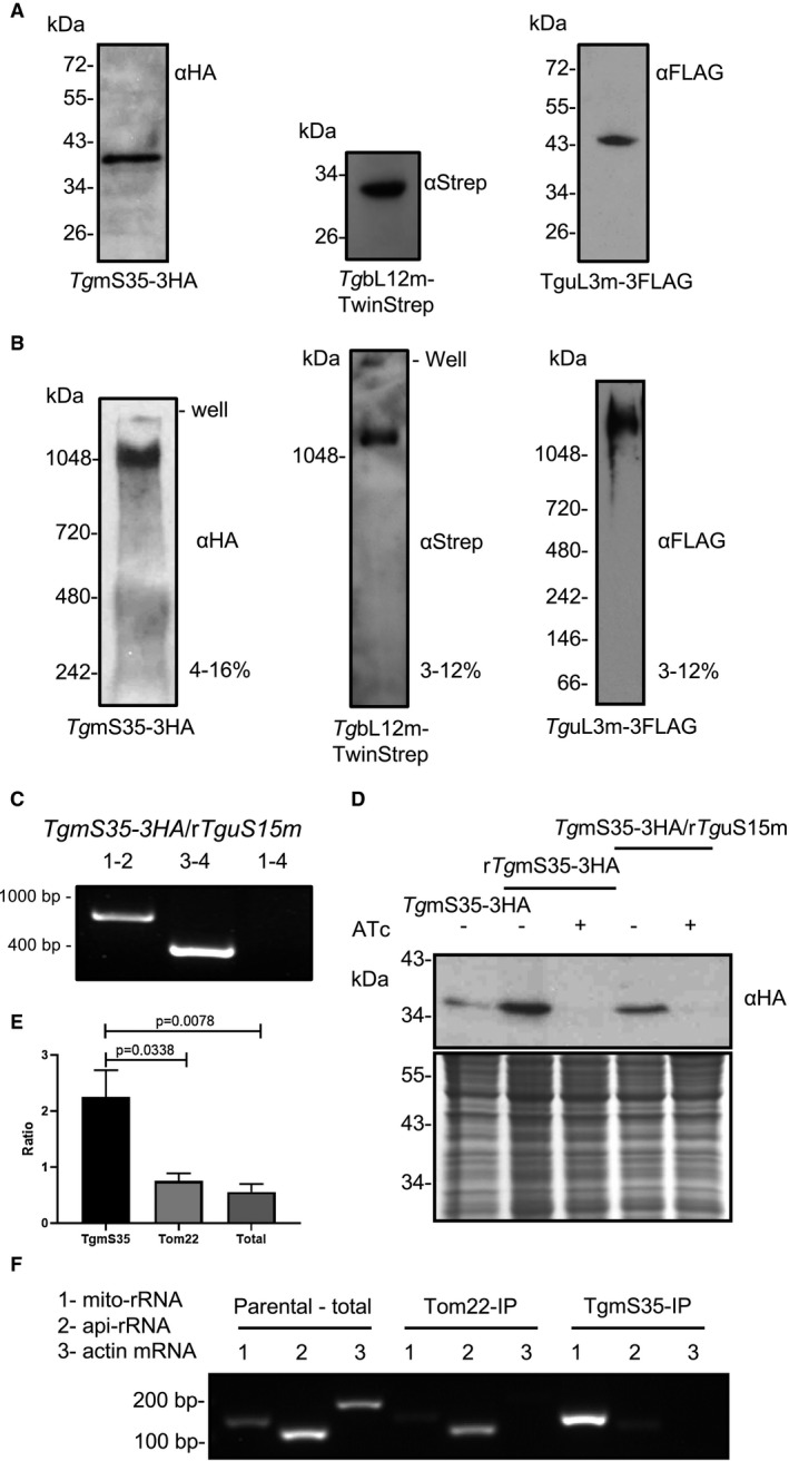 Detection of the T. gondii mitochondrial ribosome. A. Protein immunoblot analysis of endogenously tagged TgmS35, TgbL12m and TguL3m from total cell lysate separated by SDS‐PAGE and detected using <t>anti‐HA/Strep/FLAG</t> antibodies. B. Total cell lysate separated by blue‐native PAGE and immunoblotted to detect TgmS35, TgbL12m and TguL3m with anti‐HA/Strep/FLAG antibodies. C. Validation of the promoter integration in the Tg mS15 locus via PCR analysis using primers 1, 2, 3, and 4, represented in Fig. S4 D. Western blot (top panel) of TgmS35‐3xHA in lines where Tg mS35 is under its native promoter (TgmS35‐3HA) or where Tg mS35 or Tg uS15m are under regulatable promoters (r Tg mS35‐3HA and Tg mS35‐3HA/r Tg uS15m respectively). Low panel shows instant blue staining for loading control. E. comparison of results from RT‐PCR performed with primers for a mitochondrial rRNA sequence (Fig. S5 ) (mito‐rRNA), for an apicoplast rRNA sequence (api‐rRNA) and for a cytosolic mRNA (actin). Template is RNA extracted from total cell lysate of TATi∆ku80 (total), from IP of TgTom22 (Tom22) or from IP of TgmS35 (TgmS35). F. An example RT‐PCR experiment performed with primers for a mitochondrial rRNA sequence (Fig. S5 ) (mito‐rRNA), for an apicoplast rRNA sequence (api‐rRNA) and for a cytosolic mRNA (actin). Template is RNA extracted from total cell lysate of TATi∆ku80 (Parental – total), from IP of TgTom22 (Tom22‐IP) or from IP of TgmS35 (TgmS35‐IP).