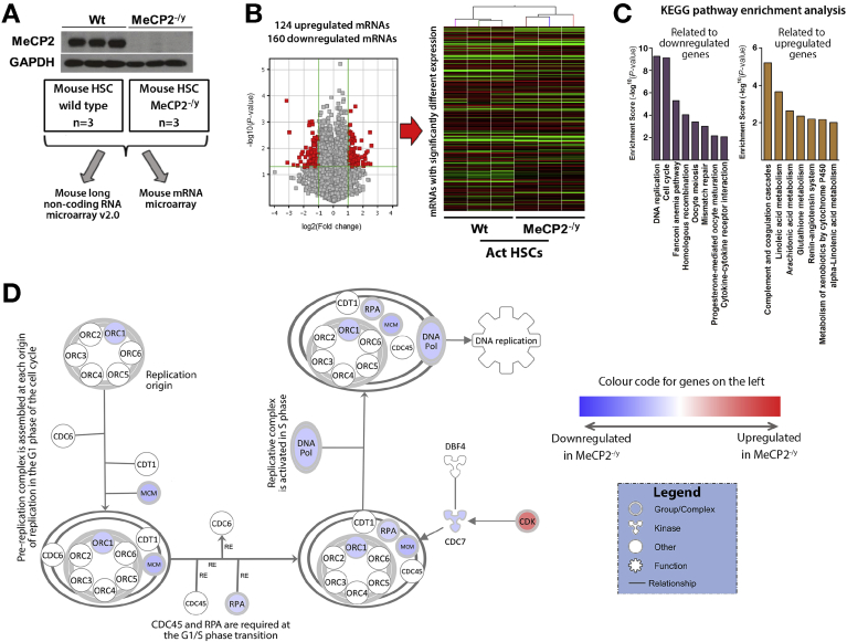 Mecp2 regulates the transcripts controlling myofibroblast DNA replication, cell cycle and integrity, metabolism, and fibrogenesis. ( A ) Western blot for Mecp2 in HSCs from WT or Mecp2 –/y mice. Schematic showing the samples used for lncRNA microarray and RNA microarray. ( B ) Volcano plot and heatmap displaying results of mRNA microarray performed on activated HSCs isolated from 3 control and 3 Mecp2 –/y mice. ( C ) Representation of the groups with 2-fold or greater change in gene expression after the KEGG pathway enrichment analysis. ( D ) Top significantly enriched canonical pathway identified by IPA, showing cell cycle control of chromosomal replication. Blue nodes signify down-regulated gene Mecp2 –/y fibroblasts; red signifies up-regulation. Symbol shapes signify the nature of the encoded protein, and unshaded symbols signify genes relevant to the pathway but not differentially expressed in our data set.