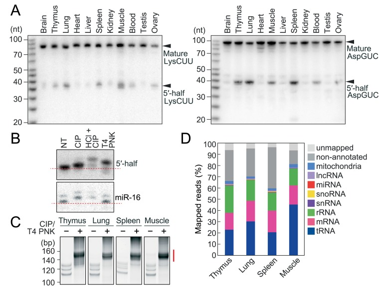 Sequencing of cP-RNAs in mouse tissues. (A)  Total RNAs extracted from mouse tissues were subjected to northern blots for the 5′-halves of cyto tRNA LysCUU  and tRNA AspGUC .  (B)  Terminal structures of the 5′-tRNA half were analyzed enzymatically. Total RNA from the mouse lung was treated with CIP, T4 PNK, or acid followed by CIP treatment (HCl + CIP). NT designates the non-treated sample used as a negative control. The treated total RNA was subjected to northern blots targeting the 5′-tRNA AspGUC  half and microRNA-16 (miR-16). miR-16 was investigated as a control RNA containing 5′-P and 3′-OH ends.  (C)  Gel-purified 20–45-nt RNAs were subjected to cP-RNA-seq, which amplified 140–160-bp cDNA products (5′-adapter, 55 bp; 3′-adapter, 63 bp; and thereby estimated inserted sequences, 22–42 bp). The cDNAs in the region designated with a red line were purified and subjected to Illumina sequencing.  (D)  Proportion of cP-RNAs annotated to the indicated RNAs.