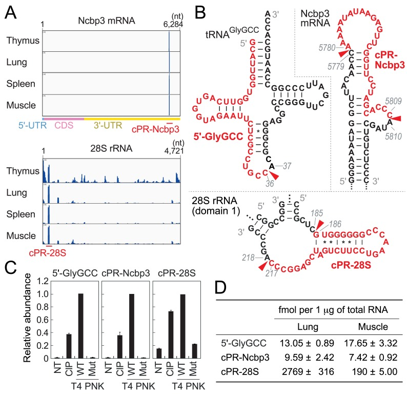TaqMan RT-qPCR quantification of cP-RNAs. (A) The alignment patterns of cP-RNAs for Ncbp3 mRNA and 28S rRNA. The positions of representative cP-RNAs, cPR-Ncbp3 and cPR-28S, are indicated. (B) The regions from which 5′-tRNA GlyGCC half (5′-GlyGCC), cPR-Ncbp3, and cPR-28S were derived are shown in red in the secondary structure of respective substrate RNAs. Secondary structure of Ncbp3 mRNA was predicted by ViennaRNA Package 2.0 [ 34 ]. (C) The total RNA from 24-week old mouse skeletal muscle, treated with CIP, wild-type (WT) T4 PNK, or mutant (Mut) T4 PNK lacking 3′-dephosphorylation activity, was subjected to TaqMan RT-qPCR. NT designates a non-treated sample used as a negative control. The amounts from WT T4 PNK-treated RNA were set as 1, and relative amounts are indicated. Averages of three experiments with SD values are shown. (D) The expression of cP-RNAs in the lung and skeletal muscle of 24-week old mice were quantified using TaqMan RT-qPCR. The cP-RNA amounts were estimated based on the standard curves shown in S9 Fig . Averages of three independent experiments with SD values are shown.