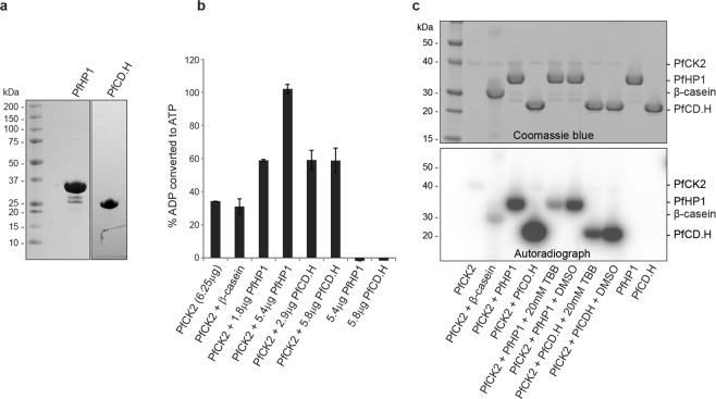 PfCK2 phosphorylates PfHP1 in vitro . ( a ) Coomassie-stained SDS-PAGE gel showing the purified recombinant PfHP1 and PfCD.H proteins. ( b ) In vitro <t>ADP-Glo</t> assay results reveal that PfCK2 phosphorylates PfHP1 and PfCD.H in vitro . The percentage of ADP converted back into ATP (y-axis) is a surrogate measure for kinase activity (i.e. the relative amount of ATP consumed in the kinase reaction). β-casein was included as a positive control substrate for PfCK2. Recombinant PfHP1 and PfCD.H in absence of PfCK2 were used as negative controls. Values represent the average of two replicate reactions. Error bars represent SD. ( c ) Cropped sections of a Coomassie-stained SDS-PAGE gel (top) and the corresponding autoradiogram (bottom) of the in vitro γ-P 32 -ATP PfCK2 kinase assay performed with recombinant PfHP1 and PfCD.H substrates. β-casein was used as a positive control substrate. 20 µM TBB was used as a specific inhibitor of PfCK2 50 , 56 . The full-size Coomassie-stained gel and autoradiogram are shown in Supplementary Fig. 6 .