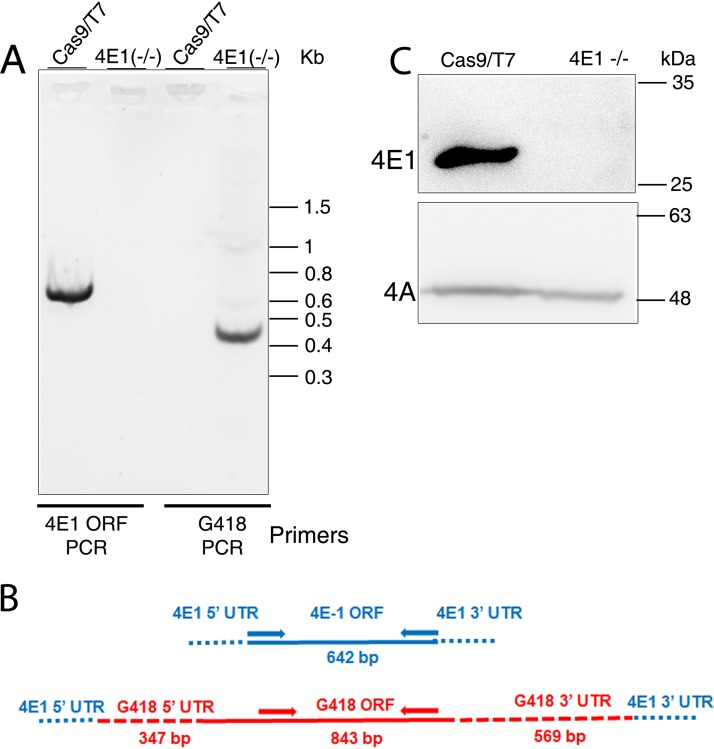 CRISPR-Cas9-mediated deletion of LeishIF4E1. (A) A diagnostic PCR was carried out to confirm the deletion of LeishIF4E1 from the genome of L. mexicana . Genomic DNA extracted from the LeishIF4E1 –/– deletion mutant and from the control cell line of L. mexicana expressing Cas9/T7 was used as a template for PCR using primers derived from the LeishIF4E1 ORF and from the G418 resistance gene ORF. (B) Schematic design of the LeishIF4E1 locus and the primers (arrows) used to diagnose the presence or absence of theLeishIF4E1 and G418 resistance genes in the genome of the LeishIF4E1 –/– mutant. Primers derived from the LeishIF4E1 ORF are shown in blue. Primers derived from the G418 resistance (G418 r ) gene are shown in red. (C) Western blot using antibodies specific for LeishIF4E1, verifying the absence of LeishIF4E1 in the LeishIF4E1 –/– deletion cell line and its presence in the control Cas9/T7 cell line. Cell extracts from the respective cell lines were separated by 12% SDS-PAGE and subjected to Western blot analysis. The interaction with antibodies against LeishIF4A-1 served as a loading control.