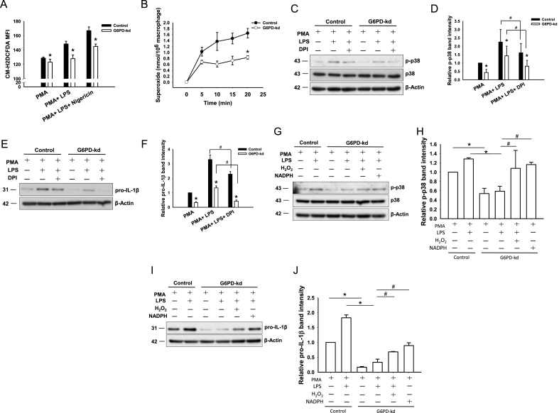 Signaling of p38 MAPK/AP-1 modulated by the ROS level in G6PD -kd THP-1 cells. (A) Flow cytometry for determining the ROS production in PMA-differentiated control THP-1 cells and G6PD -kd THP-1 cells. Cells were treated with LPS for 3 h and nigericin for 30 min. Cells were stained with 10 μM CM-H 2 DCFDA for 30 min. (B) Superoxide production was measured by cytochrome c reduction. The PMA-differentiated control and G6PD -kd THP-1 cells were incubated in cytochrome c containing HBSS with 0.1 μg/ml LPS. The production of superoxide was measured spectrophotometrically at 550 nm. The PMA-differentiated control and G6PD -kd THP-1 cells were treated with (C, E) DPI, (G, I) H 2 O 2 or NADPH for 60 min prior to LPS treatment for 30 min for p38 detection or 180 min for pro-IL-1β detection. The expression of p-p38, p38 and pro-IL-1β was determined by a Western blot. (D), (F) p-p38 and pro-IL-1β quantitative levels of (C) and (E). (H), (J) p-p38 and pro-IL-1β quantitative levels of (G) and (I). β-Actin was used as a loading control. The results are representative of three independent experiments (n = 3, * p