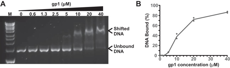 RcGTA gp1 in vitro DNA binding. (A) Representative agarose gel (0.8%, wt/vol) showing the stated concentrations of gp1 protein binding to DNA in an electrophoretic mobility shift assay (EMSA). The locations of unbound and shifted DNA are annotated. Substrate DNA in the assay shown is a 1.4-kbp PCR amplification of an arbitrarily chosen region flanking the rcc01398 gene from R. capsulatus (amplified using rcc01398 forward and reverse primers [ Table 3 ]). Bioline HyperLadder 1kb DNA marker is shown for size comparison (lane M). (B) Quantification of EMSAs by band intensity analysis. Data shown are the average results of two EMSAs carried out independently in time and with different DNA substrates (flanking the rcc01397 and rcc01398 genes). Individual data points are plotted as well as the mean line.
