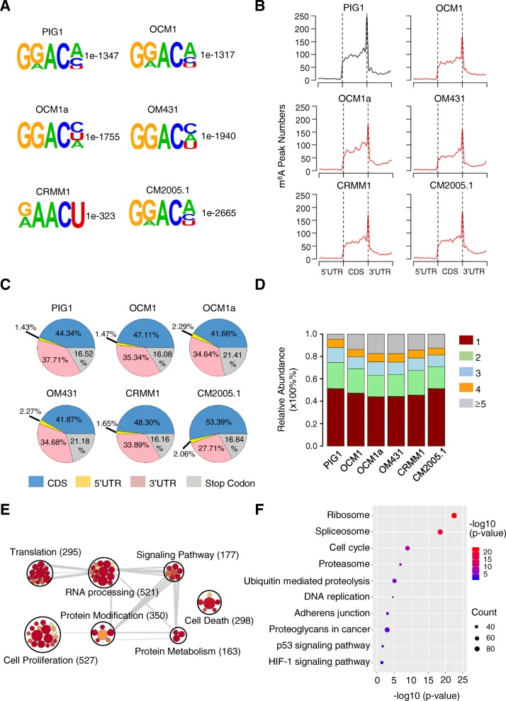 Dynamic m 6 A modifications were highly associated with ocular melanoma tumorigenesis. a Top enriched motifs within m 6 A peaks identified in ocular melanoma and normal cells. b Distribution of m 6 A sites along the length of mRNA transcripts. c Pie charts showing the m 6 A peak distribution in different RNA regions (CDS, 5′ UTR, 3′ UTR and stop codon) in ocular melanoma and normal cells. d The percentage of methylated genes with 1, 2, 3, 4 or more than 5 peaks per gene in each cell line. e GO enrichment map of m 6 A-containing genes in ocular melanoma and normal cells. f KEGG pathway analysis of m 6 A-modified genes in ocular melanoma and normal cells