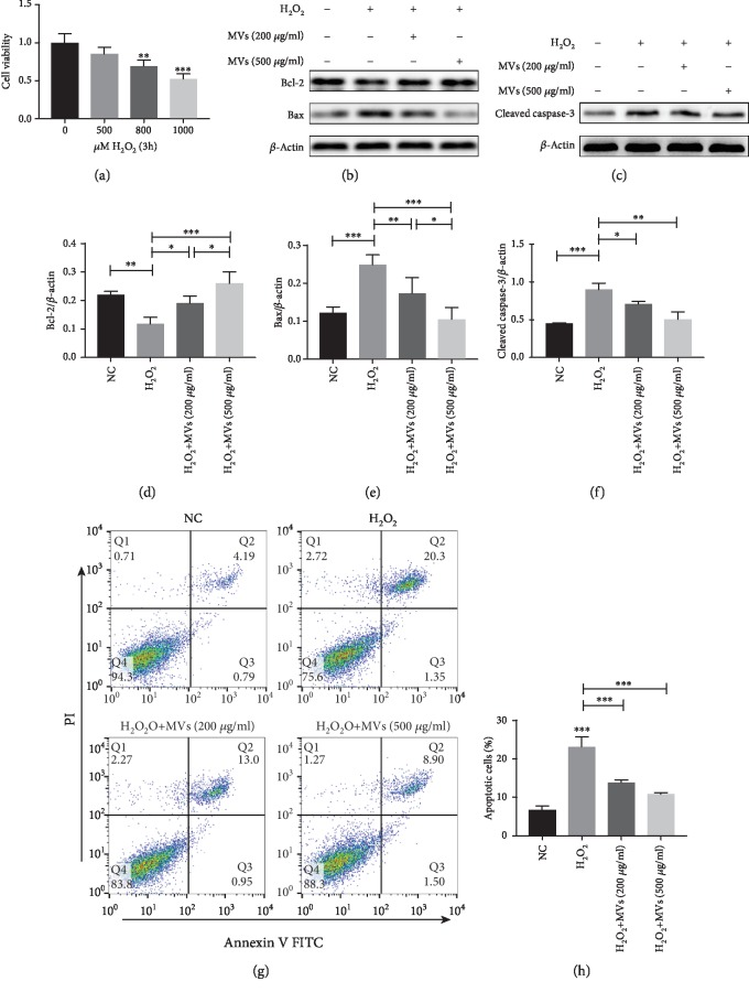 hESC-NSC-derived MVs reduced cell apoptosis after H 2 O 2  stimulation. CCK-8 was used to measure HL-1 cell viability after exposure to 0, 500, 800, and 1000 μ M H 2 O 2  for 3h (a). Representative western blot images showing the protein levels of Bcl-2, Bax, and cleaved caspase-3.  β -Actin was used as an internal control (b–f). Representative dot plots of cell apoptosis were showed after Annexin V/PI dual staining (g). The percentage of apoptotic cells was represent for both early and late apoptotic cells (h). Every experiment was repeated at least three times; error bars indicate mean ± SD ( ∗ P