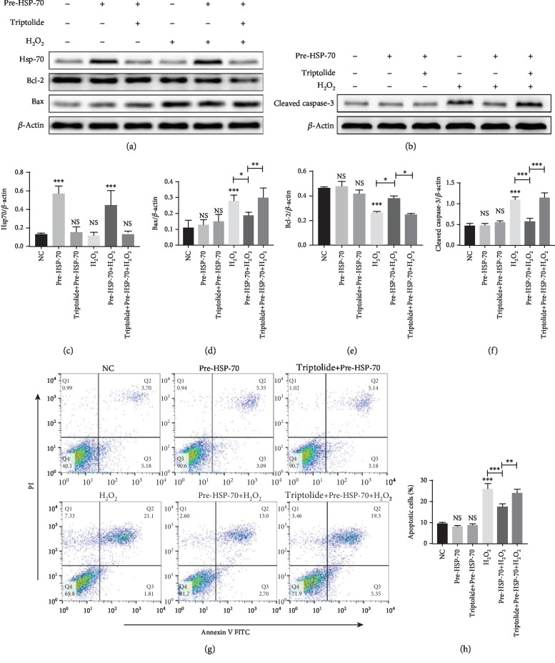 Antiapoptotic effects of HSP-70 in vitro. (a–f) Representative western blot images showing the protein levels of HSP-70, Bcl-2, Bax, and cleaved caspase-3.  β -Actin was used as an internal control. (g) Representative dot plots of cell apoptosis were showed after Annexin V/PI dual staining. (h) The percentage of apoptotic cells was represented for both early and late apoptotic cells. Every experiment was repeated at least three times. Error bars indicate mean ± SD ( ∗ P