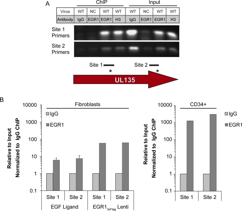 EGR1 transcription factor binds within the UL135 gene region. (A) Fibroblasts were transduced with EGR1 3xFlag lentivirus and then infected with WT or UL133/8 null mutant (negative control; NC) TB40/E virus (MOI = 1). Chromatin was immunoprecipitated (ChIP) with IgG control or antibodies specific to EGR1 or histone 3 (H3) and the presence of Site 1 or Site 2 was detected in the precipitates by PCR. As a positive control, PCR was also performed on 2% of the ChIP input. Gel is a representative experiment from 3 replicates. Diagram represents the amplicon region used for Site 1 and Site 2 detection. (B) ChIP-qPCR using <t>SimpleChIP</t> Enzymatic Chromatin IP Kit (Cell Signaling) was performed on fibroblasts infected for 48 h and pulsed with EGF for 1h, fibroblasts expressing EGR1 3xFlag infected for 48 h, or pure population of infect CD34 + HPCs in long-term culture for 5 days (6 dpi total). Fibroblasts were infected at an MOI of 1 and the CD34 + HPCs were infected at an MOI of 2. The presence of EGR1 Site 1 or Site 2 sequence was quantified by qPCR relative to a 2% input control and normalized to WT levels.