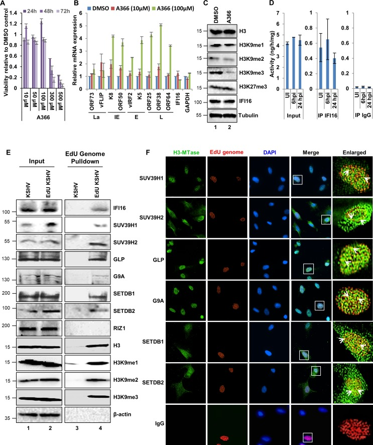 Effect of A366 on KSHV life cycle and the demonstration of IFI16's association with cellular H3K9 methyltransferase(s) (H3K9 MTase) and recruitment of various H3K9 MTases to the KSHV genome during de novo infection. ( A ) MTT cell viability assay of BCBL-1 cells treated with the H3K9me3 specific chemical inhibitor A366 at different concentrations and different time points. ( B ) q-RT PCR (two-step, sybr Green) of KSHV mRNAs in BCBL-1 cells treated for 72 hr with either vehicle control DMSO or A366 (10 µM and 100 µM). ( C ) WB of different H3 methylations and IFI16 after A366 treatment of BCBL-1 cells. ( D ) H3K9 methyltransferase activity (ng/h/mg) assay. TIME cells were infected with KSHV for 6 or 24 hr followed by isolation of nuclear fraction, benzonase treatment and IP with anti-IFI16 or control IgG in the presence of benzonase using the catch and release method. Elution was performed under non-denaturing conditions to keep the associated H3K9 methyltransferase active. H3K9 methyltransferase activity was assayed in the eluate (Materials and methods). *, p