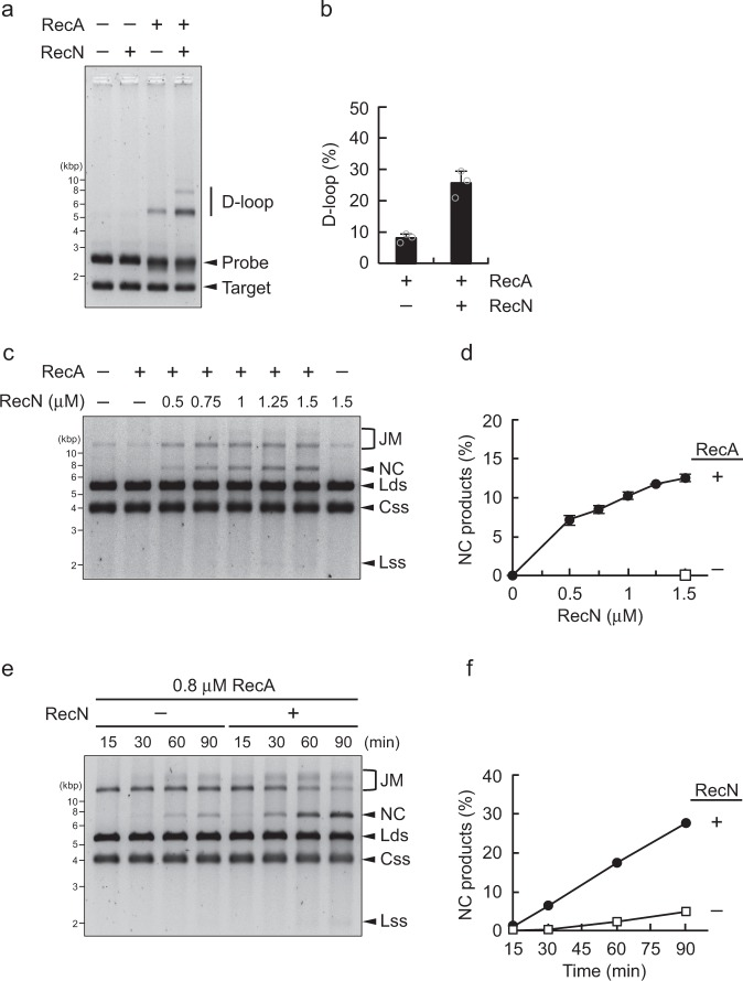 RecN promotes RecA-mediated D-loop formation and DNA strand exchange. a D-loop assays. RecA (2 µM) was incubated for 10 min in the presence of the pUC19-derivative linear ds/ssDNA (probe), and then RecN (1 µM) was added to the reaction mixture, followed by incubation for a further 15 min. The reactions were initiated by adding homologous pUC19 supercoiled circular DNA (target) and then incubated for another 5 min. The samples were analyzed by agarose gel electrophoresis and SYBR Gold staining. b Quantification of the amounts of D-loop products in the gel image shown in a . Data represent the mean ± standard deviation of three independent experiments. c Strand exchange assays. RecA (0.6 µM) was incubated for 10 min in the presence of phiX174 circular ssDNA (Css). The indicated concentrations (0–1.5 µM) of RecN were added to the reaction mixture, followed by incubation for 15 min. Subsequently, ssDNA-binding protein was added and samples were incubated for an additional 10 min. The reactions were initiated by adding homologous phiX174 linear dsDNA (Lds), incubated for 90 min, and then stopped by the addition of stop buffer. The samples were analyzed by agarose gel electrophoresis and SYBR Gold staining. d Quantification of the amounts of nicked circular dsDNA (NC) products in the gel image shown in c . Data represent the mean ± standard deviation of three independent experiments. e Time-course strand exchange experiments. RecA (0.8 µM) was incubated with or without RecN (1 µM). Aliquots were collected at the indicated time points and analyzed as described above. f Quantification of the amounts of NC DNA products in the gel image shown in e . c , e The arrowheads indicate the DNA substrates (Css and Lds) and the resulting products: joint molecules (JM), nicked circular dsDNA (NC), and linear ssDNA (Lss)