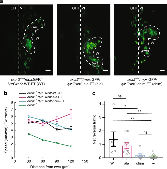 Plasma membrane sustenance of Cxcr2 is required for neutrophil dispersal. a Confocal projections of neutrophil distribution in Tg( lyz: Cxcr2-WT-FT) /cxcr2 −/− larvae, Tg( lyz: Cxcr2-ala-FT) /cxcr2 −/− , and Tg( lyz: Cxcr2-chim-FT) /cxcr2 −/− at ~2 hpw. Dashed line indicates occupied wound area (owa). CHT: caudal hematopoietic tissue, VF: ventral fin, W: wound. Scale bar = 32 µm. b Neutrophil speed in relation to distance from the owa. Average speeds per cell per distance bin are shown. n = 558–2651 steps per bin (WT), n = 95–1266 steps per bin (ala), n = 494–2000 steps per bin (chim), and n = 1168–2823 steps per bin for ( cxcr2 −/− ). c Net reverse traffic. n = 6 (WT), n = 9 (ala), n = 8 (chim), n = 11 (−; cxcr2 −/− ) larvae. Kruskal–Wallis test with Dunn's multiple comparisons test. In b and c , data are from 6 (WT), 9 (ala), 8 (chim), and 11 (−; cxcr2 −/− ) larvae from 3, 4, 3, and 8 imaging sessions, respectively. Cells were analyzed from the start of the movie (~15 mpw) up to 2 hpw. Error bars represent S.E.M. across cell steps (b) or larvae (c). Source data are provided as a Source Data file