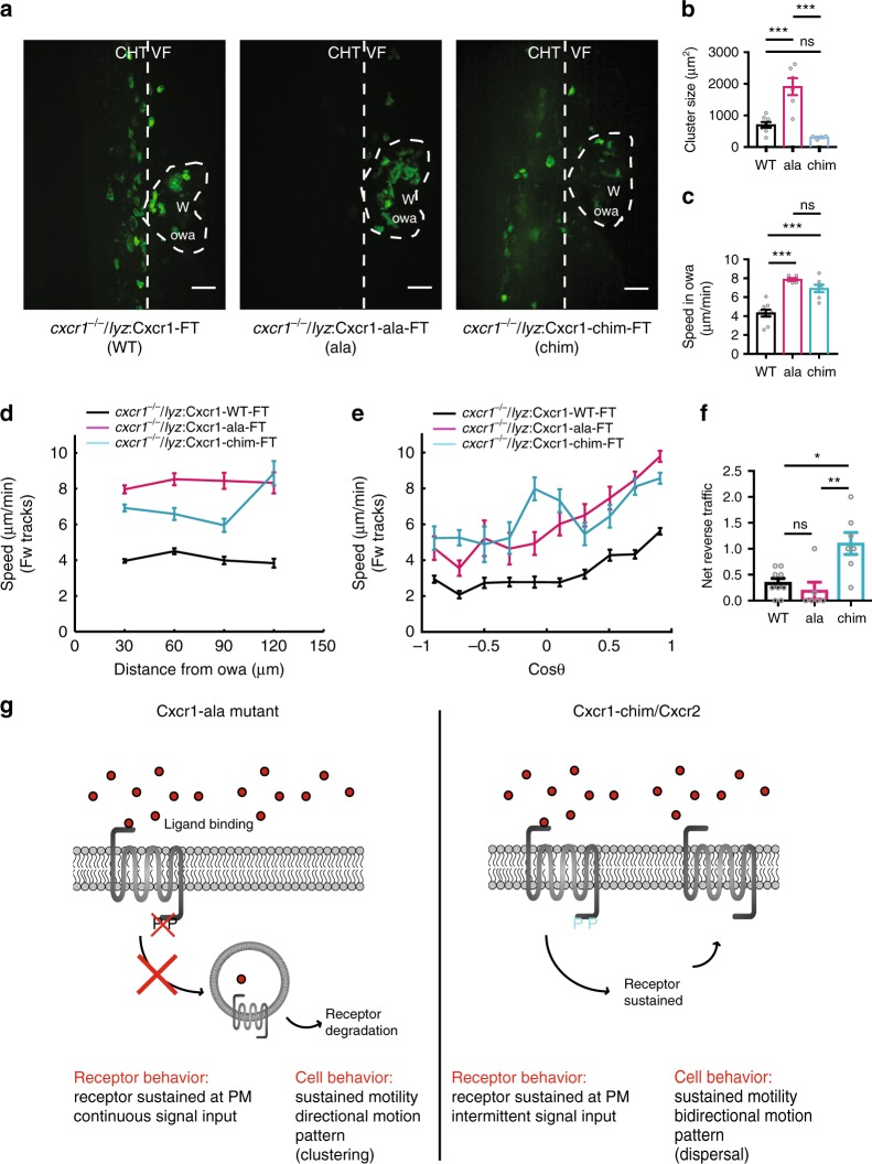 Receptor internalization limits neutrophil motion at wounds. a Confocal projections of neutrophil distribution in Tg( lyz: Cxcr1-WT-FT) /cxcr1 −/− larvae (WT), Tg( lyz: Cxcr1-ala-FT) /cxcr1 −/− (ala), Tg( lyz: Cxcr1-chim-FT) /cxcr1 −/− (chim) at ~2 hpw. Dashed line indicates occupied wound area (owa). CHT: caudal hematopoietic tissue, VF: ventral fin, W: wound. Scale bar = 32 µm. b Quantification of neutrophil cluster size, n = 8 (WT), n = 6 (ala), and n = 4 (chim) larvae from 3 imaging sessions per condition. One-way ANOVA test with Tukey's multiple comparisons test. c Quantification of speed within the owa. n = 9 (WT), n = 6 (ala), and n = 7 (chim) larvae. One-way ANOVA test with Tukey's multiple comparisons test. d Neutrophil speed in relation to distance from the owa. Average speeds per cell step per distance bin are shown. n = 316–1942 steps per bin (WT), n = 105–706 steps per bin (ala), n = 83–896 steps per bin (chim). e Neutrophil speed in relation to cosine of angle θ . Average speeds per cell per cos θ bin are shown. n = 128–849 steps per bin (WT), n = 22–445 steps per bin (ala), and n = 44–417 steps per bin (chim). f Net reverse traffic. n = 9 (WT), n = 6 (ala), and N = 7 (chim) larvae. Kruskal–Wallis test with Dunn's multiple comparisons test. g Summary of phenotypes observed in Cxcr1 rescue experiments and their interpretation. PM, plasma membrane. For c – f , data are from 9 (WT), 6 (ala), and 7 (chim) larvae from 3, 6, and 3 imaging sessions, respectively. For all panels, analysis was focused on the post initial arrival window of 1–2 hpw. Error bars represent S.E.M. across cell steps (d,e) or larvae (b,c,f). Source data are provided as a Source Data file