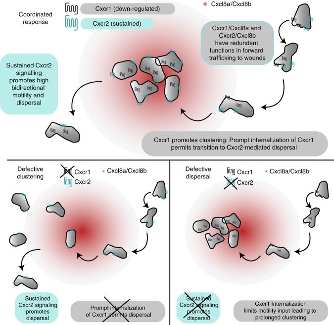 Model for coordination of neutrophil clustering and dispersal through chemokine receptor trafficking. (Top) Cxcr1/Cxcl8a and Cxcr2/Cxcl8b can partly compensate for each other during initial chemotaxis to the wounded tissue. However, Cxcr1 specifically promotes clustering and this contribution is limited by desensitization and downregulation. Conversely, Cxcr2 is recycled after internalization and promotes persistent bidirectional motility in the wounded tissue through sustained, intermittent signaling. This facilitates dispersal from the site. Bottom left: in the absence of Cxcr1, neutrophils are recruited, through Cxcr2/Cxcl8b and other endogenous signals, but show a loss in clustering. Bottom right: in the absence of Cxcr2, neutrophils are recruited, through Cxcr1/Cxcl8a and other endogenous signals. Once at the target, Cxcr1 is maximally downregulated and neutrophils lack signal input for motility, leading to a defect in dispersal