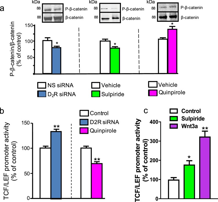 D2R modulates β-catenin phosphorylation and TCF/LEF activity. ( a ) siRNA knockdown of D2R (D2R siRNA) in mouse renal proximal tubule cells (mRPTCs) caused a 20% decrease in phosphorylated β-catenin (P-β-catenin, left panel) compared with the non-silencing (NS) siRNA control (72 hr). Acute sulpiride (D2R antagonist) treatment (1 µM, 6 hr) similarly reduced β-catenin phosphorylation by 25% compared with the vehicle control. Conversely, D2R agonism by quinpirole (1 µM, 24 hr) increased β-catenin phosphorylation, relative to the vehicle control (right panel). Results are represented as the ratio of P-β-catenin/total β-catenin, and then normalized as the percentage of NS siRNA or vehicle (% of control). (b) β-catenin-mediated TCF/LEF luciferase reporter activity was significantly increased by 40% via siRNA-mediated D2R knockdown and decreased by 36% via 1 µM quinpirole treatment to stimulate D2R activity; results are normalized to the respective controls. (c) Acute sulpiride treatment significantly increased TCF/LEF promoter activity by 80%, while direct stimulation by Wnt3a (100 ng/ml, 2 hr) more than doubled (224%) TCF/LEF promoter activity, relative to vehicle control. All data are represented as the mean ± SEM conducted on n ≥ 3 separate experimental dates and performed in triplicate. *P