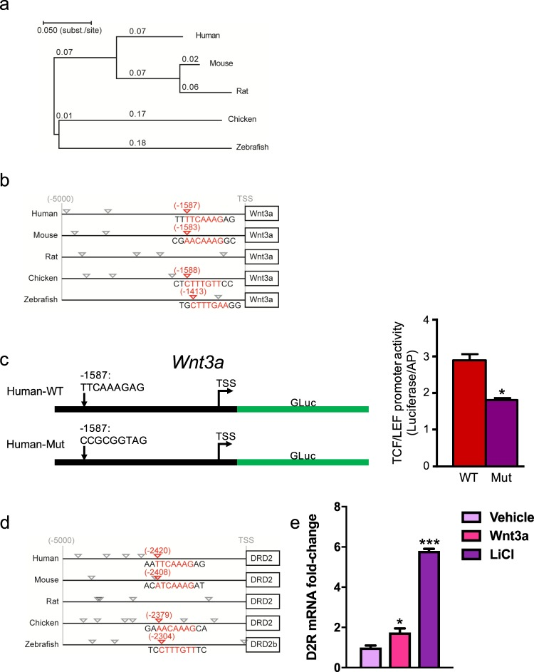 Modulation of Wnt3a expression via a conserved TCF/LEF promoter site. ( a ) Phylogenetic tree of WNT3A across multiple species: human, mouse, rat, chicken, and zebrafish. The WNT3A exons were used to construct the phylogenetic tree. Evolutionary distances in the units of base substitutions per site were calculated using the maximum composite likelihood method. The phylogenetic tree was then constructed using the Neighbor-Joining method with the sum of branch lengths = 0.645. (b) Binding site analysis of aligned human, mouse, rat, chicken, and zebrafish WNT3A promoter sequences highlighting conserved β-catenin-binding TCF/LEF sites within the 5 kb region upstream of the transcriptional start site (TSS). (c) Schematic representation of our luciferase reporter of TCF/LEF-dependent WNT3A transcription (left panel). The reporter construct consists of a selected segment of the human WNT3A promoter region containing a highly conserved TCF/LEF site upstream of the Gaussia luciferase gene. We show two variants of the reporter: one containing the wild-type (WT) TCF/LEF site (Human-WT) and another where the TCF/LEF site was inactivated by mutation (Human-Mut). Upon expression of a WNT3A transcriptional reporter in human renal proximal tubule cells, the Human-Mut reporter demonstrated significantly decreased WNT3A promoter activity compared with the WT control (right panel). The data were normalized to alkaline phosphatase expression. *P