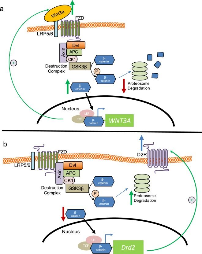Model of cross-talk between D2R and Wnt/β-catenin pathways, and Wnt3a transcriptional regulation. We propose the following mechanism by which D2R and Wnt3a reciprocally regulate their expression: (a) Wnt3a stimulation of the Frizzled (FZD) receptor/LRP5/6 complex leads to less β-catenin degradation via the destruction complex and proteasomal pathway. Instead, more β-catenin is available for translocation into the nucleus where it increases Wnt3a transcription and expression via a TCF/LEF site within the Wnt3a promoter. This leads to a positive feedback loop that amplifies further Wnt3a signaling. (b) Increased nuclear translocation of β-catenin also upregulates D2R expression through TCF/LEF sites within the D2R promoter. Increased D2R expression leads to more β-catenin phosphorylation, resulting in enhanced β-catenin proteasomal degradation and therefore less β-catenin nuclear translocation. This ultimately inhibits further β-catenin-mediated Wnt3a transcription to maintain cellular homeostasis.