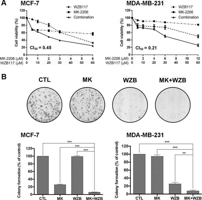 MK-2206 and WZB117 synergistically inhibit the growth of MCF-7 and MDA-MB-231 breast cancer cells. (A) Dose–response curves of cells treated with MK-2206 and WZB117 either alone or in combination for 48 h. Cell viability was measured by the MTT assay. (B) MK-2206 and WZB117 inhibit colony formation. A set of colony formation images of MDA-MB-231 cells are illustrated in the upper panels and quantitative results of colony formation are shown in the lower panels . MCF-7 cells were treated with 0.5 µM MK-2206 and/or 5 µM WZB117, and MDA-MB-231 cells were treated with 6 µM MK-2206 and/or 30 µM WZB117 for 24 h, then cultured in drug-free culture medium for 7 days (MCF-7) or 9 days (MDA-MB-231), and colonies were then scored. CTL , the DMSO vehicle control; MK , MK-2206; WZB , WZB117, MK+WZB , the combination of MK-2206 and WZB117. Data are presented as the mean ± SEM of three independent experiments. ** P
