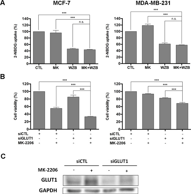 WZB117 may enhance the growth inhibitory effect of MK-2206 via inhibition of GLUT1 in MCF-7 and MDA-MB-231 cells. (A) WZB117 inhibits glucose uptake in MCF-7 and MDA-MB-231 cells. Cells were incubated with 2-NBDG in the presence of DMSO, 6 µM MK-2206 and/or 60 µM WZB117 (MCF-7) or 12 µM MK-2206 and/or 60 µM WZB117 (MDA-MB-231) for 1.5 h and harvested for flow cytometric analysis of 2-NBDG fluorescence, and relative 2-NBDG uptake was calculated. Data are presented as the mean ± SEM of three independent experiments. (B) Knockdown of GLUT1 enhances the growth inhibitory effect of MK-2206 in MCF-7 and MDA-MB-231 cells. Cells were transfected with control siRNA (siCTL) or GLUT1 siRNA (siGLUT1) and then treated with MK-2206 (6 µM in MCF-7 cells or 12 µM in MDA-MB-231 cells) for 72 h, followed by the MTT assay to assess cell viability. Data are presented as the mean ± SEM of three independent experiments. (C) Western blot analysis of GLUT1 in MCF-7 cells after siRNA transfection and MK-2206 treatment. MCF-7 cells were transfected with control siRNA (siCTL) or GLUT1 siRNA (siGLUT1), allowed to recover for 48 h, and then treated with 6 µM MK-2206 for 48 h before harvested for Western blot analysis. *** P