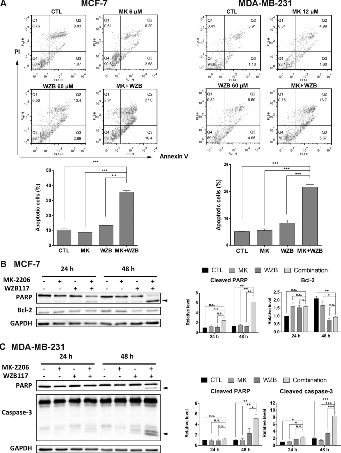MK-2206 and WZB117 synergistically induce apoptosis in MCF-7 and MDA-MB-231 cells. (A) Annexin V-FITC/PI staining and flow cytometric analysis. Cells were treated with 6 or 12 µM of MK-2206 and 60 µM of WZB117 either alone or in combination for 48 h. Representative dot plots and quantitative data from three independent experiments showed that MK-2206 and WZB117 significantly induced apoptosis. (B) Western blot analysis of proteins involved in apoptosis in MCF-7 cells. Cells were treated with 6 µM of MK-2206 and 60 µM of WZB117 either alone or in combination for 24 or 48 h. (C) Western blot analysis of proteins involved in apoptosis in MDA-MB-231 cells. Cells were treated with 12 µM of MK-2206 and 60 µM of WZB117 either alone or in combination for 24 or 48 h. Quantitative data are presented as the mean ± SEM of three independent experiments. Cleaved PARP and caspase-3 are marked with arrowheads . * P