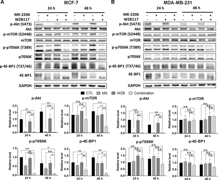 The effect of MK-2206 and WZB117 on proteins involved in the Akt/mTOR signaling pathway. (A) MCF-7 cells. (B) MDA-MB-231 cells. MCF-7 cells were treated with 6 µM MK-2206 and 60 µM WZB117, and MDA-MB-231 cells were treated with 12 µM MK-2206 and 60µM WZB117, either alone or in combination, for 24 or 48 h. Cells were then harvested for Western blot analysis. Quantitative data are presented as the mean ± SEM of three independent experiments. *P
