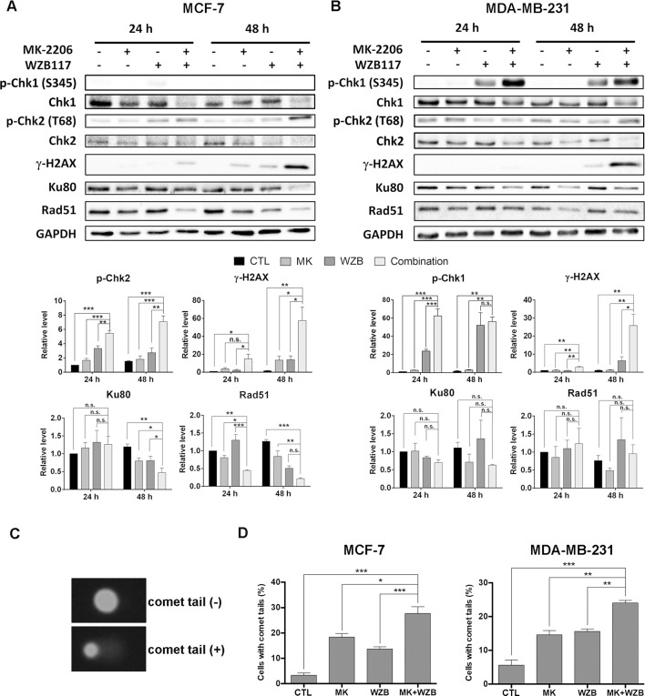 MK-2206 and WZB117 affect proteins involved in DNA damage signaling and repair, determined by Western blot analysis, and induce DNA damage, determined by the comet assay. (A) MCF-7 cells. (B) MDA-MB-231 cells. MCF-7 cells were treated with 6 µM MK-2206 and 60 µM WZB117 and MDA-MB-231 cells were treated with 12 µM MK-2206 and 60 µM WZB117, either alone or in combination, for 24 or 48 h. Cells were then harvested for Western blot analysis. Quantitative data are presented as the mean ± SEM of three independent experiments. (C) Comet images. (D) Quantitative data of comet assay. MCF-7 cells were treated with 6 µM MK-2206 and/or 60 µM WZB117 for 1 h and MDA-MB-231 cells were treated with 12 µM MK-2206 and/or 60 µM WZB117 for 6 h and subjected to alkaline comet assay. Data are presented as the mean ± SEM of three independent experiments. *P