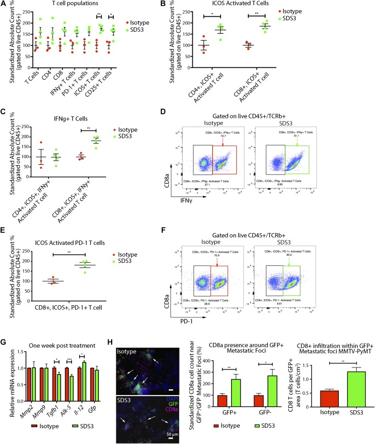 SDS3 promotes CD8 + T cell activation and T cell infiltration. (A) Flow cytometry analysis of early immune changes within the lungs of MMTV-PyMT mice i.v. injected with 1 × 10 5 VO-PyMT-GFP-Luc cells at 7 wk of age treated with SDS3 or IgG isotype control. Counting beads used to normalize frequencies with absolute cell counts standardized to isotype control expressed as a relative difference from the average isotype control absolute cell count. Significant activation of T cells seen through marked elevation of ICOS and CD25 (n = 3 IgG, n = 4 SDS3). (B) Flow cytometry analysis of ICOS-activated T cells reveals both CD4 and CD8 T cell subsets significantly up-regulated after SDS3 treatment. (C) Flow cytometry analysis of IFNγ within CD4- and CD8-activated T cells (ICOS+) demonstrates prominent Th1 cytokine skewing of CD8 T cells after SDS3 treatment. (D) Representative scatterplot of ICOS+ CD8 T-cell expression of IFNγ. Red box represents IgG-treated activated CD8 T cells expressing IFNγ. Green box represents SDS3-treated activated CD8 T cells expressing IFNγ. (E) Flow cytometry analysis of PD-1 within CD8 + -activated T cells (ICOS+) shows significant up-regulation of an exhausted T-cell response due to overactivation of the immune system. (F) Representative scatterplot of ICOS+ CD8 T-cell expression of PD-1. Red box represents IgG-treated activated CD8 T cells expressing PD-1. Green box represents SDS3-treated activated CD8 T cells expressing PD-1. (G ) <t>qPCR</t> analysis of MMTV-PyMT lungs i.v. injected with 1 × 10 5 VO-PyMT-GFP-Luc cells 1 wk after IgG or SDS3 treatment shows decreased Th2/M2-like markers ( Il-4r and Egr2 ) and increased Il-12 (duplicate conditions with n = 4 IgG and n = 4 SDS3). (H) Left: representative immunofluorescence images of 9-wk-old MMTV-PyMT lungs i.v. injected with 1 × 10 5 VO-PyMT-GFP-Luc cells 3 wk after IgG or SDS3 treatment. CD8 + T cells localize around GFP + metastatic sites (arrows) after IgG and SDS3 treatment, whereas lower presence of CD8 + T cells seen around GFP − sites. Middle: quantification of CD8 + T cells in GFP + and GFP − regions 3 wk after IgG and SDS3 treatment (not shown: GFP − foci). Right: CD8 + T cell infiltration around periphery and within GFP + metastatic foci in MMTV-PyMT mice at 9-wk of age after a 3-wk chase post i.v. injection of 1 × 10 5 VO-PyMT GFP + cells (n = 5 IgG, n = 5 SDS3; <t>three</t> serial sections used for quantification).