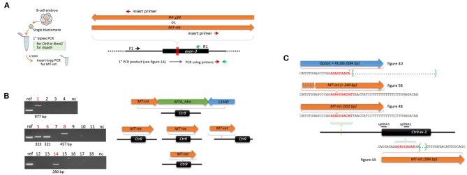 Insert-trap PCR detects MT-int insertion events at the Ctr9 CRISPR site. (A) Schematic showing the insert-trap PCR strategy for finding the 3′-end of an MT-int insert expected at the Ctr9 CRISPR locus. There are two possible orientations of MT-int DNA insertion, forward and reverse; the use of the red (insert primer) and green (R1) primer set detects the forward MT-int insert only. (B) High frequency of MT-int DNA insertion at the Ctr9 CRISPR site. PCR was performed using as templates the primary PCR products (see Figure 1A ) that failed to produce relevant amplicons in the subsequent nested PCR. PCR products of different sizes generated by insert-trap PCR are shown along with the reference amplicon of the sample in Figure 4A (left). The identities and structures of the inserts are schematically represented after sequencing (right). (C) Similarity in DNA sequence at the insertion sites. The sequence 5′-AGACCA-3′ appears frequently at the insertion sites. The green brackets and dots indicate deletion regions.