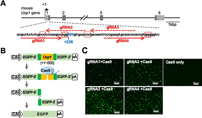 Selection of the optimum gRNA sequence to generate Ucp1-iRFP720 KI mice. (A) Structure of the mouse Ucp1 gene. The boxes and the numbers above each box indicate the exons of the mouse Ucp1 gene. Light and dark gray regions within the exons indicate untranslated and translated regions, respectively. The position of the transcription start site is indicated by +1. The DNA sequence around the translation start site of the mouse Ucp1 gene is shown. The red arrows indicate the target sequences of the gRNAs (dashed arrows indicate the complementary sequences). The red boxes show the protospacer adjacent motif (PAM) sequences. (B) The assay system for estimating the functional genome editing efficiency of gRNAs. The Ucp1 gene (+1 ~ +500) containing the gRNA target sites (shown in orange) was inserted into pCAG-EGxxFP vector. When recruited by the gRNA (shown in dark blue) to the target site, the Cas9 nuclease (shown in light blue) introduces a double strand break in the target DNA. Because of homologous recombination between the duplicated sequences (shown in dark green), the EGFP-coding gene is recovered. (C) Fluorescence image of HEK293T cells two days after transfection. The Cas9 nuclease was expressed together with one of the four gRNA candidates (gRNA1~gRNA4) or without gRNA (Cas9 only). Scale bar, 200 μm.