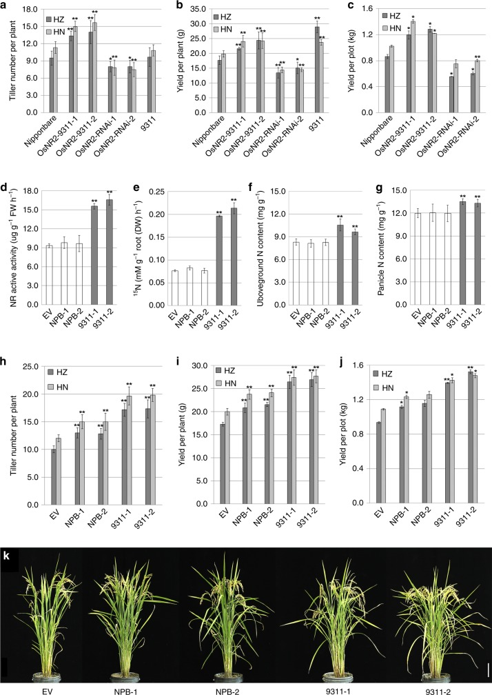 Expression of the 9311 OsNR2 allele boosts Nipponbare N assimilation, tiller number, and grain yield. a effective tiller number, b yield per plant and c yield per plot of Nipponbare, Nipponbare harboring constructs for expression of the 9311 OsNR2 allele driven by the 9311 OsNR2 promoter ( OsNR2 -9311-1 and OsNR2 -9311-2) or of OsNR2 RNAi ( OsNR2- RNAi-1 and OsNR2- RNAi-2). d NR active activity of Nipponbare (empty-vector control; EV), transgenic derivatives expressing the 9311 OsNR2 allele (9311-1 and 9311-2), and transgenic derivatives expressing the Nipponbare OsNR2 allele (NPB-1 and NPB-2), with expression of both alleles being driven by the CaMV 35S promoter. e 15 NO 3 - uptake of plants exposed to 1.25 mM 15 NO 3 , f N content of aboveground plant parts, g panicle N content, h effective tiller number, i yield per plant, j yield per plot and k appearance of plant genotypes (as in ( d )). Plants were cultivated in field conditions with NO 3 − fertilizer (14 kg per acre) as major N source f – i . Values are mean ± s.d. ( n = 6 for a - b , f – i , n = 3 for d , e and n = 2 for c , j ). Error bar represents s.d. * and ** respectively indicate least significant differences at the 0.05 and 0.01 probability levels, compared with Nipponbare or EV. HZ: Hangzhou (harvested on September 20th, 2018); HN: Hainan (harvested on April 20th, 2019). Source data are provided as a Source Data file