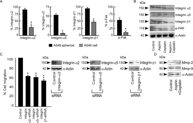 Cisplatin impedes migration by deterring <t>Integrin/Fak</t> signalling in aspirin pre-treated spheroids. ( A ) Percent <t>Integrin-α2</t> (left panel), Integrin-α5 (middle panel) and Integrin-β1 (right panel) expression was represented graphically as detected by flow-cytometry in A549 parental cell and spheroids. ( B ) Western blot analysis of Integrin-α2, Integrin-α5, Integrin-β1 and p-FAK in untreated or aspirin/-cisplatin/-aspirin + cisplatin treated A549 spheroids. α-Actin was used as loading control. ( C ) Percent cell migration was calculated and represented graphically in control and Integrin-α2-siRNA, Integrin-α5–siRNA or Integrin-β1-siRNA transfected A549 spheroids as detected by transwell migration assay. The inset shows the immunoblot analysis of Integrinα2, Integrinα5 or Integrinβ1 levels for the transfection efficiency of Integrin-α2-siRNA, Integrin-α5–siRNA and Integrin-β1-siRNA respectively. ( D ) Protein expression levels of MMP-2 and MMP-9 in untreated or aspirin + cisplatin treated A549 spheroid. α-Actin served as loading control. Values are mean ± SEM of three independent experiments in each case or representative of typical experiment *p