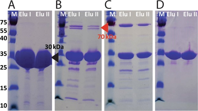 Overexpression and purification of RbsB-His 6 and mutants DT002-His 6 and DT016-His 6 . ( A ) SDS-PAGE gel of purification steps with a <t>HisTrap</t> column of RbsB-His 6 . ( B ) and ( C ) as for panel ( A ) but for mutants DT0016-His 6 and DT002-His 6 , respectively. ( D ) SDS-PAGE gel of elution steps after adding 10 mM ATP and after gel filtration column for mutant DT016-His 6 . M, Marker; Elu, Elution step. Black triangle indicates the expected position of RbsB-His 6 , DT002-His 6 and DT016-His 6 proteins. Red triangle indicates the position of the assumed E. coli chaperones. Images in panels ( A – D ) stem from single individual SDS-PAGE gels, as indicated by the white line separator and panel lettering. Individual panel images and lanes were not further combined digitally and show the full protein size range.