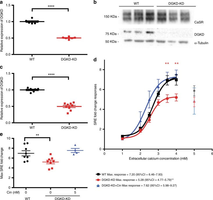 CaSR-mediated SRE responses following DGKD knockdown and effect of cinacalcet treatment in HEK-CaSR-SRE cells. a Relative expression of DGKD , as assessed by quantitative real-time PCR of HEK-CaSR-SRE cells treated with scrambled (WT) or DGKD (DGKD-KD) siRNA and used for SRE experiments. Samples were normalized to a geometric mean of four housekeeper genes: PGK1 , GAPDH , TUB1A , CDNK1B . n = 8 biologically independent transfections. b Representative western blot of lysates from HEK-CaSR cells treated with scrambled or DGKD siRNA and used for SRE experiments. α−Tubulin was used as a loading control. c Relative expression of DGKD, as assessed by densitometry of western blots from cells treated with scrambled or DGKD siRNA demonstrating a ~50% reduction in expression of DGKD following treatment with DGKD siRNA. Samples were normalized to PGK1. n = 6 biologically independent transfections for WT, n = 9 biologically independent transfections for DGKD-KD. d SRE responses of HEK-CaSR-SRE cells in response to changes in extracellular calcium concentration. Cells were treated with scrambled (WT) or DGKD (DGKD-KD) siRNA. The responses ± SEM are shown for n = 8 biologically independent transfections for WT and DGKD-KD cells and n = 4 biologically independent transfections for DGKD-KD + 5 nM cinacalcet cells. Treatment with DGKD siRNA led to a reduction in maximal response (red line) compared to cells treated with scrambled siRNA (black line). This loss-of-function could be rectified by treatment with 5 nM cinacalcet (blue line). Post desensitization points are shown but were not included in the analysis (gray, light red, and light blue). e Mean maximal responses with SEM of cells treated with scrambled siRNA (WT, black), DGKD siRNA (DGKD-KD, red) and DGKD siRNA incubated with 5 nM cinacalcet (blue). Statistical comparisons of maximal response were undertaken using F test. Student's t-tests were used to compare relative expression. Two-way ANOVA was used to compare points on dose response curve with reference to WT. Data are shown as mean ± SEM with ** p