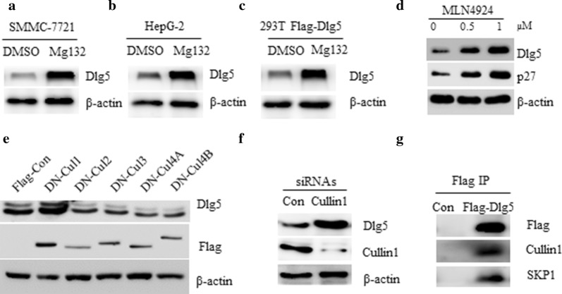 Dlg5 is regulated by the ubiquitin proteasome system via an SCF ubiquitin ligase complex. a Western blot analysis of SMMC-7721 cells treated with DMSO or 10 μM MG132 for 4 h. b Western blot analysis of HepG-2 cells treated with DMSO or 10 μM MG132 for 4 h. c 293T cells were transfected with Flag-Con or Flag-Dlg5 for 36 h, cells were then treated with 10 μM MG132 for 4 h and subjected to western blot analysis with indicated antibodies. d Western blot analysis of 293T cells treated with indicated doses of MLN4924 for 4 h. e Western blot analysis of 293T cells transfected with DN-Cullin1, DN-Cullin2, DN-Cullin3, DN-Cullin4A or DN-Cullin4B plasmid, respectively. f Western blot analysis of SMMC-7721 cells transfected with siRNAs against control or Cullin1. g 293T cells were transfected with Flag-Con or Flag-Dlg5 for 36 h, cell lysate was subjected to immunoprecipitation by FlagM2 antibody. Immunoprecipitates were detected by western blot using indicated antibodies