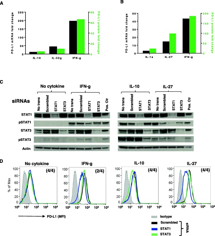 Roles of STAT1 and STAT3 in cytokine-induced PD-L1 protein expression on monocytes.  a  and  b.  Cytokine-induced PD-L1 protein expression on Monos was associated with new  PDL1  mRNA transcription. Monos were treated with IL-1a, IL-10, IL-27, IL-32g or IFN-g. PD-L1 mRNA and surface protein were measured by q-RT-PCR and flow cytometry after 16h or 48h, respectively. Fold changes in PD-L1 protein and mRNA were calculated. Representative data from Monos derived from one of two normal donors are shown.  a.  Fold changes in PD-L1 protein and mRNA levels in normal donor Monos after IL-10 (100ng/ml), IL-32g (100ng/ml) or IFN-g (100IU/ml) exposure.  b.  Fold changes of PD-L1 protein and mRNA levels in normal donor Monos after IL-1a (10ng/ml), IL-27 (50ng/ml) or IFN-g (100IU/ml) treatment.  c and d.  Fresh isolated Monos were transfected with 300pmol STAT1 or STAT3 siRNA and treated with the indicated cytokines 2days later. Total or phosphorylated STATs and cell surface PD-L1 expression were assessed with Western blotting and flow cytometry after 15min or 1day, respectively.  c.  siRNA knockdown significantly reduced total and phosphorylated STAT1 and STAT3.  d . STAT1 knockdown reduced IFN-g- and IL27-induced PD-L1 protein expression, while STAT3 knockdown reduced IL10-induced PD-L1 expression. Numbers in parentheses indicate number of normal donors having Monos with these findings