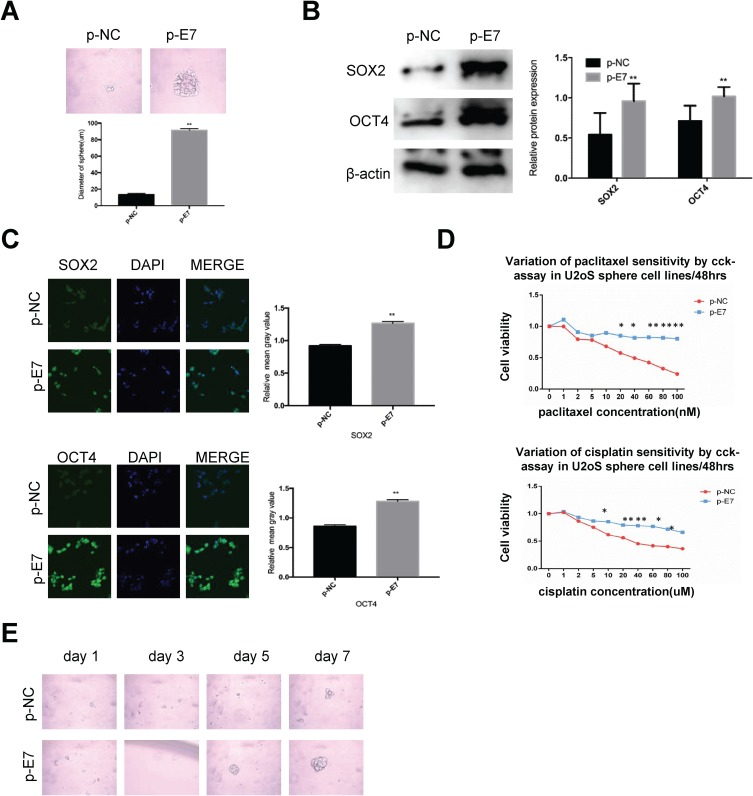 HPV 16 E7 maintains stemness in U2OS oncospheres. Notes: ( A ) Phase-contrast photomicrographs of U2OS cells with HPV16 E7 overexpression in low-adherence culture for 7 days. ( B ) Western blot detection of the expression of SOX2 and OCT4 proteins in U2OS oncospheres with HPV16 E7 overexpression. ( C ) Immunofluorescence images of SOX2 and OCT4 in U2OS oncospheres with HPV16 E7 overexpression using an anti-SOX2/OCT4 (green) antibody. DAPI staining (blue) indicates cell nuclei. Images on the left show cells stained with anti-SOX2/OCT4, images in the middle show cells stained with DAPI, and images on the right are merged anti-SOX2/OCT4 and DAPI. All of the contrast images were taken under the same conditions. ( D ) Growth inhibition of U2OS oncospheres with HPV16 E7 overexpression. Both were seeded in 96-well plates and treated with paclitaxel or cisplatin at different concentrations (0, 1, 2, 5, 10, 20, 40, 60, 80, 100 nM) for 48 hrs, and cell viability was determined by a modified MTT assay. OD values of each treated group were compared with controls at the same time point. ( E ) Representative photomicrographs of clonal expansion of single oncospheres from U2OS with HPV16 E7 overexpression in low-adherence cultures over a 7-day period. The cluster of the oncospheres after days 1, 3, 5, 7 of culture was measured. Western blot expression levels were normalized to those of β-actin. Error bars and mean with SD were from three independent experiments. * P