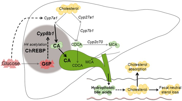 Working model of the mechanism by which intrahepatic glucose controls bile acid synthesis and intestinal cholesterol handling in mice. Intrahepatic glucose (G6P) controls bile acid synthesis through a ChREBP‐dependent induction of Cyp8b1 by H4 acetylation, whereas hepatic Cyp7a1 expression is regulated by blood glucose levels. Hepatic G6P‐ChREBP ‐CYP8B1 hence induces corresponding shifts in bile composition, which subsequently promotes intestinal cholesterol absorption.