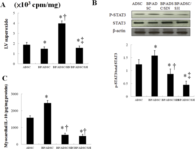 Experiment 2. In a rat isolated heart model, effect of superoxide and STAT3 on IL-10 levels. STAT3 activity was determined by Western blot analysis using the phospho-STAT3 antibody. SIN-1 significantly decreased STAT3 activity and IL-10 levels compared with BP/hADSCs alone. Besides, the administration of S3I-201, a STAT3 inhibitor, significantly decreased IL-10 levels compared with BP/hADSCs alone. *P