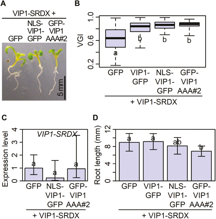 VIP1 variants that are constitutively localized in the nucleus suppress VIP1–SRDX-dependent root waving. (A, B, and D) Root growth of the transgenic plants expressing GFP, VIP1–GFP, NLS–VIP1–GFP, or GFP–VIP1AAA in the VIP1–SRDX-overexpressing ('+ VIP1-SRDX') background. GFP–VIP1AAA was introduced into the VIP1–SRDX-overexpressing background from two individual GFP–VIP1AAA-expressing lines ('#1' and '#2'), and data for line #2 are presented (see Supplementary Fig. S5 for line #1). These plants were grown for 10 d on agar medium tilted at a 60° angle and photographed to obtain the root vertical growth indices (VGIs). (A) Phenotypes of these 10-day-old seedlings. Scale bar=5 mm. (B) VGIs of these plants. For each box, the top and bottom edges and the middle line indicate the quartiles, and the vertical bar corresponds to the data range ( n =70 for GFP-expressing plants; 40 for VIP1–GFP-expressing plants; 46 for NLS–VIP1–GFP-expressing plants; 29 for GFP–VIP1AAA-expressing plants #2). Data with the same lower case letters are not significantly different ( P > 0.05) according to the Games–Howell test. (C) Expression levels of VIP1-SRDX . Plants were grown as described above, and used for RNA extraction and cDNA synthesis for RT–PCR. Data are means ±SD of three biological replicates. Data with the same lower case letters are not significantly different ( P > 0.05) according to the Tukey–Kramer test. (D) Length of the primary roots of these plants. Data are the same as those used to obtain the VGIs, and are presented as means ±SD. Data with the same lower case letters are not significantly different ( P > 0.05) according to the Games–Howell test.