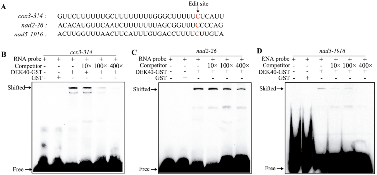 <t>DEK40</t> recognizes and directly binds cox3 , nad2 , and nad5 transcripts. (A) Nucleotide sequence of RNA probes. Edited sites are indicated in red. (B) RNA EMSAs indicated that DEK40 directly binds to cox3 transcripts that surround the cox3 edited site. Unlabeled probe was used as a competitor, and <t>GST</t> was used as a negative control. Black arrows show the shifted bound and free RNA probe. (C) RNA EMSAs indicated that DEK40 directly binds to nad2 transcripts that surround the nad2 edited site. Unlabeled probe was used as a competitor, and GST was used as a negative control. The shifted bound and free RNA probesw are indicated by black arrows. (D) RNA EMSAs indicated that DEK40 directly binds to nad5 transcripts that surround the nad5 edited site. Unlabeled probe was used as a competitor, and GST was used as a negative control. The shifted bound and free RNA probes are indicated by black arrows.