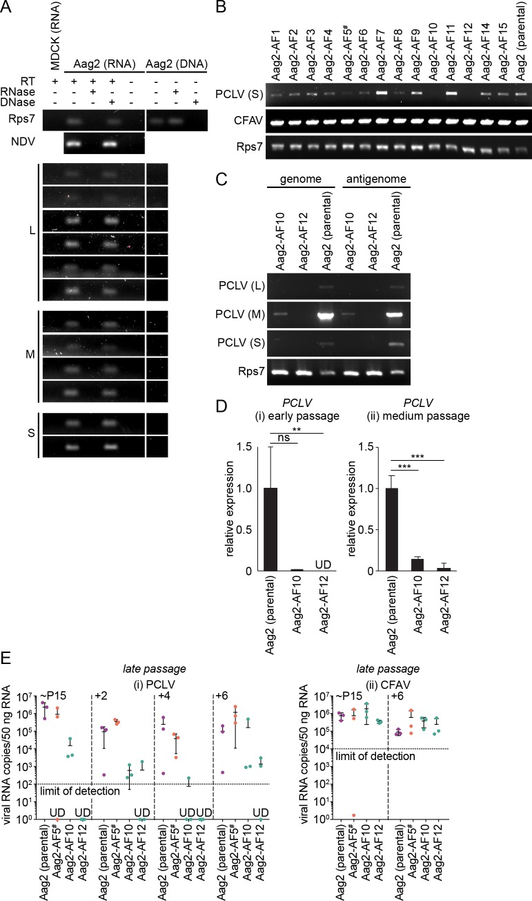 """Aag2-AF10 and Aag2-AF12 cell lines harbour barely detectable levels of phasi charoen-like virus. (A) Short PCR amplicons spanning the three PCLV genome segments (L, M, S) amplified from RNA or genomic DNA isolated from parental Aag2 cells, either with or without a reverse transcription step (RT). Purified nucleic acids were treated with RNase or DNase prior to PCR. MDCK cell RNA, the cellular Rps7 gene/mRNA and the RNA virus NDV, which was spiked into cells immediately prior to RNA extraction, serve as controls. (B) Detection of the PCLV S segment and CFAV by RT-PCR in Aag2-derived clonal cell lines. Cellular Rps7 mRNA serves as a loading control. (C) Detection of the PCLV L, M and S genome (-ssRNA) and antigenome (+ssRNA) segments in select Aag2-derived clonal cell lines by sense-specific RT-PCR. Rps7 mRNA serves as a loading control. (D) PCLV L segment RT-qPCR ΔΔC t (normalised to Rps7 mRNA) for select Aag2-derived clonal cell lines expressed relative to parental Aag2 cell line at (i) early passages (Aag2-AF10, passage 2; Aag2-AF12, passage 3) and (ii) later ('medium') passages (Aag2-AF10, passage 8; Aag2-AF12, passage 12). (E) RT-qPCR quantification of viral RNA copies for PCLV L segment (i) and CFAV (ii) at late passages in Aag2 (parental), Aag2-AF5, Aag2-AF10 and Aag2-AF10 cells. Starting passages (""""~P15"""") were passage 15 (parental Aag2), 12 (Aag2-AF5), 14 (Aag2-AF10) and 13 (Aag2-AF12). Data points represent three independently passaged lines. Error bars represent standard deviation. ** P"""