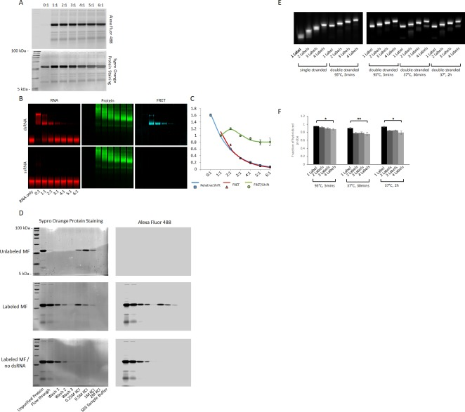 Optimization of fluorescence labeling of MAGIC Factor and MAGIC Probes. ( A ) Labeling strategy of MAGIC Factor. MAGIC Factor was fluorescently labeled with increasing amounts of Alexa Fluor 488 SDP Ester and run on a 12% SDS-PAGE gel after purification by size-exclusion chromatography. The ratios refer to dye:protein molar ratios during fluorescent labeling. The control reaction was performed with DMSO instead of the dye. The same gel was imaged for native Alexa Fluor 488 fluorescence (top gel) and after staining all protein with Sypro Orange (bottom gel). ( B ) Electrophoretic Mobility Shift Assay (EMSA) of fluorescently labeled MAGIC Factor. Proteins from A were reacted with Alexa Fluor 647-labeled dsRNA and run on a native gel to visualize the binding affinities of the proteins. The gel was visualized in the RNA channel, protein channel and FRET channel. Note that the appearance of MAGIC Factor as multiple bands is likely due to the use of an NHS-ester dye to attach Alexa Fluor 488 to the protein. Dependent on the exact location of the fluorophore molecule, each single protein molecule likely runs differently on the native polyacrylamide gel. ( C ) Quantitative assessment of the EMSA with respect to the relative shift of the dsRNA, the corrected FRET (cFRET) intensity of shifted dsRNA and the cFRET/shift ratio. ( D ) Unlabeled and fluorescently labeled MAGIC Factor were affinity purified using dsRNA-coupled agarose beads. The proteins were reacted with the beads for 1 hr, washed three times with binding buffer and then gradually eluted with increasing concentrations of KCl. At the end, remaining proteins were eluted with 1x SDS-PAGE sample buffer and all samples run on a 12% SDS-PAGE gel. As a control experiment, fluorescently labeled MAGIC Factor was reacted with agarose beads in the absence of dsRNA. Gels were imaged for native Alexa Fluor 488 fluorescence (right gel) and after staining all protein (left gel). ( E ) Effect of degree of RNA fluorescent labeling