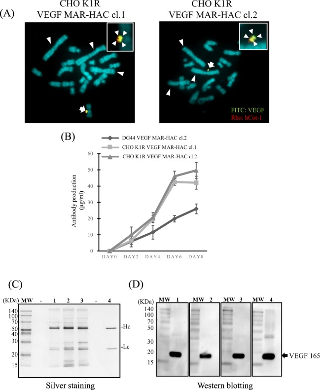 Transfer of the VEGF MAR-HAC vector to CHO K1 cells promotes antibody production. ( A ) Two-color FISH analysis of the VEGF MAR-HAC vector in G418-resistant CHO K1 clones was performed with digoxigenin-labeled hCot-1 DNA (red) and biotin-labeled anti-VEGF antibody gene (green). The arrow indicates the HAC, and the inset shows enlarged images of the HAC (anti-VEGF antibody probe-specific green signals are indicated by arrows). The arrowheads indicate the three large metacentric chromosomes that identify CHO K1 cells. The left panel shows CHO K1R VEGF MAR-HAC cl.1. The right panel shows CHO K1R VEGF MAR-HAC cl.2. ( B ) Analysis of anti-VEGF antibody production with <t>ELISA</t> from CHO K1R VEGF MAR-HAC clones and CHO DG44 VEGF MAR-HAC clones from day 2 to day 8. Bars correspond to the means ± SD of three independent experiments. ( C ) Culture supernatants were analyzed by SDS-PAGE. The protein bands were stained by silver staining. MW, molecular weight markers; line 1, antibody purified from CHO DG44 VEGF MAR-HAC cl.2; line 2, antibody purified from CHO K1R VEGF MAR-HAC cl.2; line 3, antibody purified from CHO K1R VEGF MAR-HAC cl.2; line 4, commercial human anti-VEGF antibody (bevacizumab; 0.1 µg). Hc means heavy chain. Lc means light chain. ( D ) Western blotting of the 19.1 kDa <t>VEGF</t> 165 protein with the purified antibody from the CHO cell clones. Line 1, antibody purified from CHO DG44 VEGF MAR-HAC cl.2; line 2, antibody purified from CHO K1R VEGF MAR-HAC cl.2; line 3, antibody purified from CHO K1R VEGF MAR-HAC cl.2; line 4, commercial human anti-VEGF antibody.