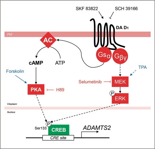 Schematic representation of the mechanisms that control ADAMTS2 gene expression. Selective stimulation of D 1 receptors by SKF 83822 (selective D 1 receptor agonist) triggers the expression of ADAMTS2 . Two main pathways seem to be involved: (1) G αs /AC/cAMP/PKA signalling and (2) MEK/ERK1/2 signalling. Downstream of D 1 both PKA and ERK can phosphorylate CREB at Ser133 and activate transcription of ADAMTS2 . Specific activators of PKA (Forskolin) and MEK (TPA) are highlighted in blue. Specific inhibitors of PKA (H89) and MEK (selumetinib) are coloured in red. DA D 1 (dopamine D 1 receptor), Gsα (G-protein α-subunit), Gβγ (G-protein βγ-subunits), AC (adenyl cyclase), PKA (protein kinase A), CRE (cyclic AMP-responsive element) site and PM (plasmatic membrane). Arrows: direct interaction, dashed arrows: indirect interaction.