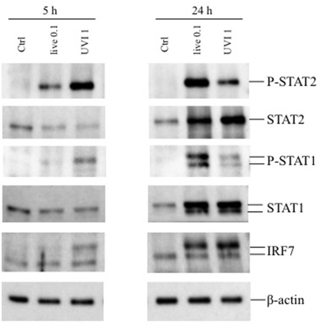 Expression of phosphorylated STAT1/2 and IRF7 in DC stimulated with live and UVI-USA300. DC were left untreated (Ctrl) or stimulated with live and UVI-USA300 for 5 and 24 h. Cell lysates were analyzed by Western blot to detect the expression and the phosphorylation of the indicated proteins. β-actin levels were analyzed as control for protein loading.