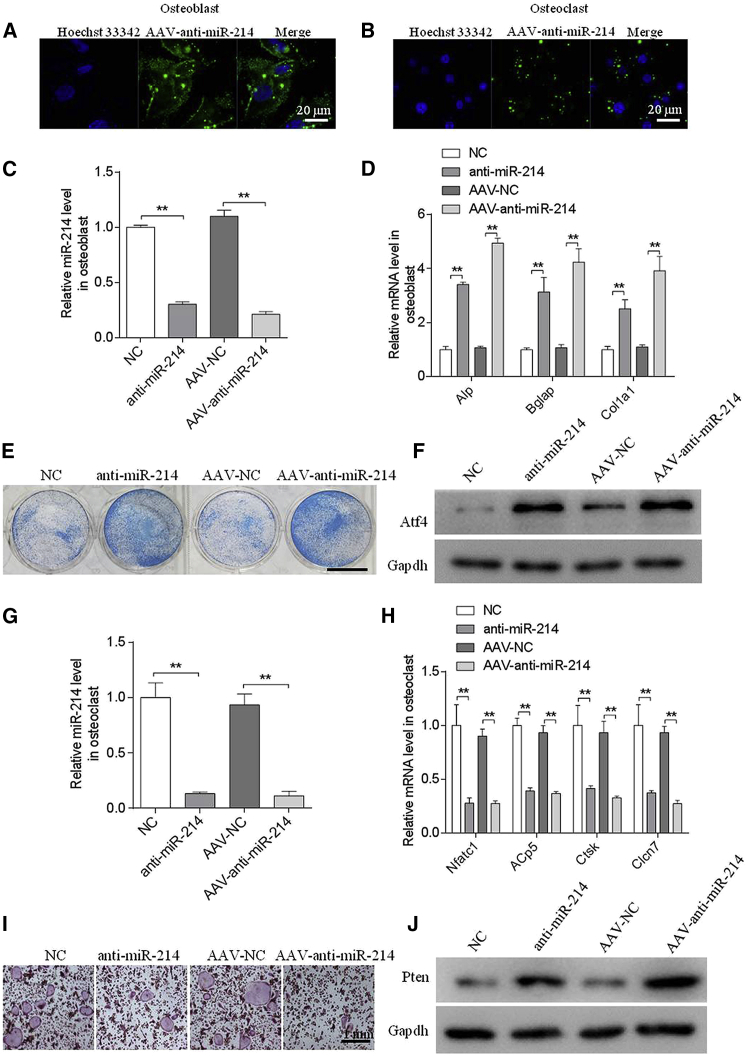 Adeno-Associated Virus-Anti-miR-214 Increased Osteogenic Activity and Decreased Osteoclastic Activity In Vitro (A and B) Representative images of GFP in mouse primary osteoblasts (A) and osteoclasts (B) incubated with AAV-anti-miR-214 or AAV-normalized control (NC). (C) RT-PCR and quantitative real-time PCR analyses of miR-214 levels in mouse primary osteoblasts following incubation with anti-miR-214, NC, AAV-anti-miR-214, or AAV-NC for 2 days. (D) RT-PCR and quantitative real-time PCR analyses of ALP , Bglap , and Col1α1 mRNA levels in mouse primary osteoblasts following incubation with anti-miR-214, NC, AAV-anti-miR-214, or AAV-NC for 2 days. (E) Representative images of ALP staining of mouse primary osteoblasts following incubation with anti-miR-214, NC, AAV-anti-miR-214, or AAV-NC for 2 days. Scale bar, 7.8 mm. (F) Western blot analyses of ATF4 levels in primary osteoblasts following incubation with anti-miR-214, NC, AAV-anti-miR-214, or AAV-NC for 2 days. (G) RT-PCR and quantitative real-time PCR analyses of miR-214 levels in receptor activator of nuclear factor κB ligand (RANKL)-induced bone marrow-derived macrophages (BMMs) following incubation with AAV-anti-miR-214 or AAV-NC for 4 days. (H) RT-PCR and quantitative real-time PCR analyses of Nfatc1 , Acp5 , Ctsk , and Clcn7 mRNA levels in RANKL-induced BMMs following incubation with AAV-anti-miR-214 or AAV-NC for 4 days. (I) Western blot analyses of PTEN protein levels in RANKL-induced BMMs following incubation with AAV-anti-miR-214 or AAV-NC for 4 days. (J) Representative images of tartrate-resistant acid phosphatase (TRAP) staining of RANKL-induced BMMs following incubation with AAV-anti-miRNA-214 or AAV-NC for 4 days. All data are presented as mean ± SEM from three independent experiments. **p