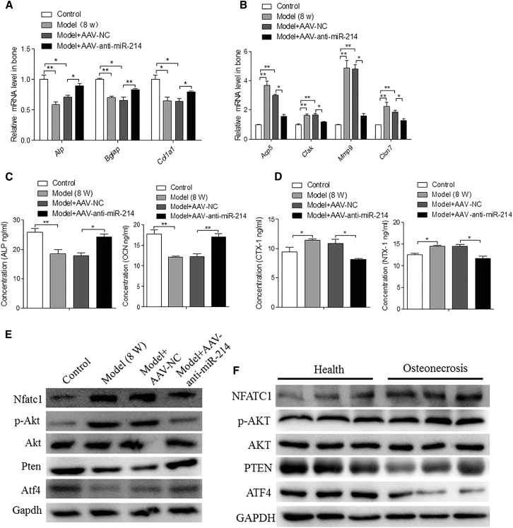 Inhibitory Role of AAV-Anti-miR-214 on Osteoclastic Activity and the Promotion of AAV-Anti-miR-214 on Osteogenic Activity (a) RT-PCR and quantitative real-time PCR analyses of ALP , Bglap , and Col1α1 mRNA levels in the femoral heads of rats among the various groups at 8 weeks postsurgery. For each group, n = 6. (B) RT-PCR and quantitative real-time PCR analyses of Acp5 , Ctsk , Mmp9 , and Clcn7 mRNA levels in the femoral heads of rats from control, model, model + NC, and model + AAV-anti-miR-214 groups at 8 weeks postsurgery. For each group, n = 6. (C) ELISA analyses of ALP and OCN levels in rat serum from control, model, model + AAV-NC, and model + AAV-anti-miR-214 groups at 8 weeks postsurgery. For each group, n = 6. (D) ELISA analyses of CTX-1 and NTX-1 levels in rat serum from control, model, model + AAV-NC, and model + AAV-anti-miR-214 groups at 8 weeks post-surgery. For each group, n = 6. (E) Western blot analyses of Nfatc1, p-Akt, PTEN, and ATF4 protein levels in the femoral heads of rats in the various groups at 8 weeks postsurgery. GAPDH was used as the internal control. (F) Western blot analyses of NFATC1, p-AKT, PTEN, and ATF4 protein levels in the femoral heads of patients with osteonecrosis. GAPDH was used as the internal control. All data are presented as mean ± SEM from three independent experiments.