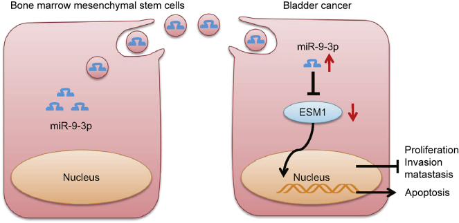 Schematic Diagram Showing Proposed Mechanisms by which Exosomal miR-9-3p Derived from BMSCs Inhibits the Development of Bladder Cancer Decreased miR-9-3p expression in bladder cancer reduces the inhibitory effect on ESM1. Increased ESM1 expression promotes bladder cancer cell proliferation, invasion, and metastasis, and inhibits apoptosis. miR-9-3p-containing exosomes secreted by BMSCs decrease the expression of ESM1, and hence inhibit bladder cancer cell proliferation, invasion, and metastasis, and promote apoptosis.