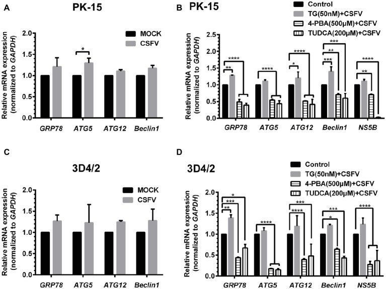 Treatment with ER stress regulators changes transcriptional levels of autophagic genes in CSFV-infected PK-15 and 3D4/2 cells. PK-15 (A,B) and 3D4/2 (C,D) cells cultured in 6-well plates were pretreated with 50 nM TG or 200 μM TUDCA or 500 μM 4-PBA for 6 h, and then subject to a 1.5 h of incubation with 1 MOI of CSFV. The cells were further cultured in maintenance media in the presence (TUDCA and 4-PBA) or absence (TG) of the drugs for 24 h. Additionally, cells pretreated with only DMSO (0.1%) were regarded as the control group. The CSFV group was only infected with 1 MOI of CSFV, and the MOCK group was only treated with the same amount of media. The cells of each treatment were collected for extraction of total RNA, and 1 μg total RNA from each sample was transcribed into cDNA as template for relative quantification of the indicated genes through real-time RT-PCR. Relative mRNA expression of the target genes were assessed using the 2 −ΔΔCT method and normalized to the GAPDH gene. Each template was ran in triplicate. The results are expressed as mean ± SD values of two independent experiments. Generations of images for quantitation and statistical analyses were performed with GraphPad Prism 6. All data presented were analyzed by two-way ANOV A tests: * p