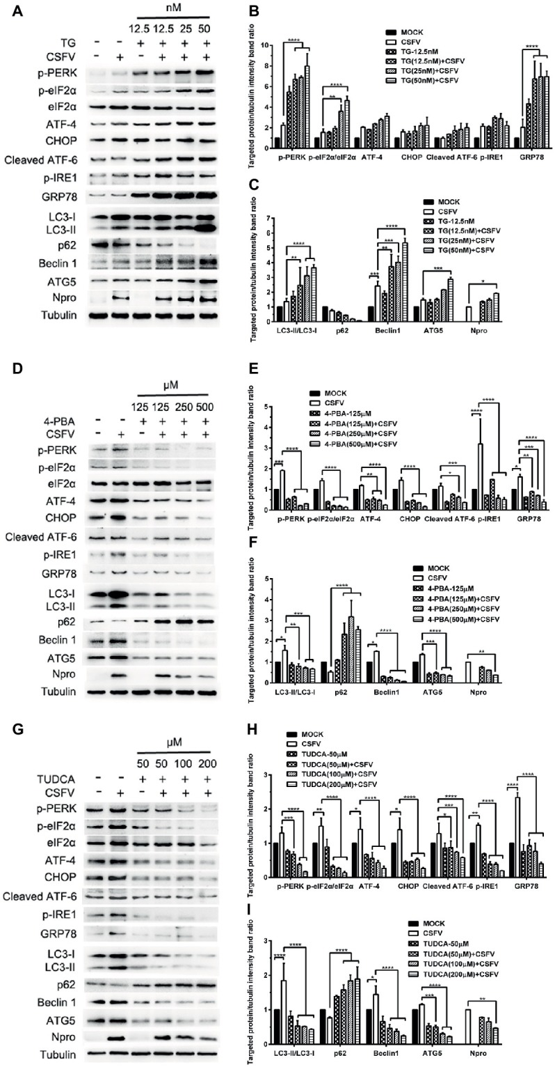 """Pharmacological regulation of ER stress changes expression of autophagic proteins in CSFV-infected PK-15 cells. PK-15 cells cultured in 6-well microplates were pretreated with ER stress agonist TG (12.5, 25 and 50 nM) (A) , ER stress inhibitors 4-PBA (125, 250 and 500 μM) (D) and TUDCA (50, 100 and 200 μM) (G) for 6 h, respectively, and then subject to CSFV infection. After a 1.5 h of incubation, the cells were further cultured in maintenance media in the presence (TUDCA, 4-PBA) or absence (TG) of the drugs for 24 h. Additionally, cells pretreated with only MDRV or mock infection or only drugs were regarded as the control group. Cells were collected for preparation of protein samples in accordance with description in the """"materials and methods"""". Samples were quantitated by BCA assays and then loaded for western blot analyses using specific antibody against the indicated targets. Tubulin was used as a loading control. Grayscale value of the bands were analyzed with ImageJ software, and generations of images for protein quantitation and all statistical analyses (B,C,E,F,H,I) were performed with GraphPad Prism 6. All the pictures of western blot represent one of two independent experiments, and all the quantitative data shown are expressed as mean ± SD values of two independent experiments. Two-way ANOVA test: * p"""